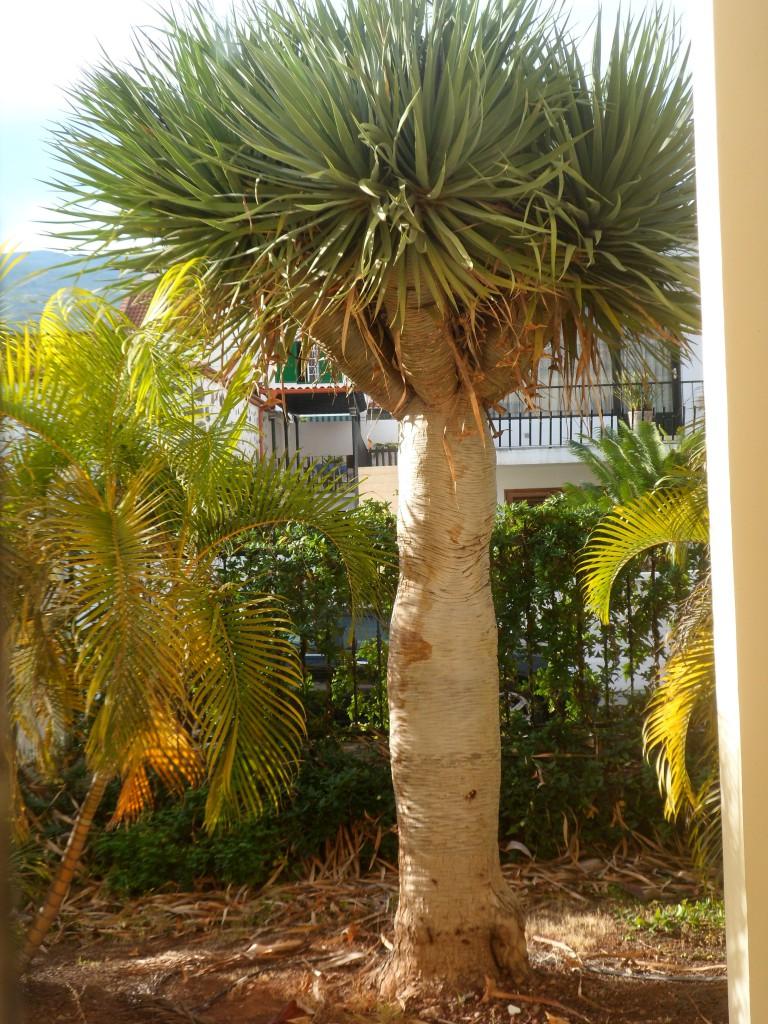 Пальма на территории отеля Los Dragos Norte