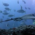 Акулы, барракуды, скаты